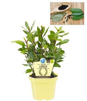 Bio Kräuterpflanzen Online Kaufen Bestellen Bei Baldur Garten