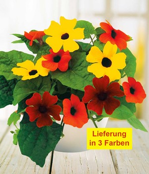 Thunbergia 'Sunny Susy®, Mix',3 Töpfe