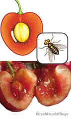 kirschfruchtfliege bek mpfen so wird man sie los. Black Bedroom Furniture Sets. Home Design Ideas