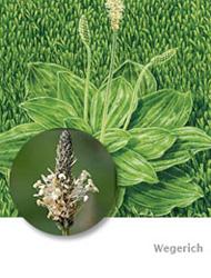 Wegerich Bekampfen Vorbeugen Das Hilft Den Pflanzen