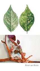 Rosenrost Behandlung rosenrost was sie gegen die pilzinfektion tun können